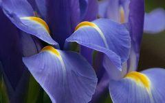 1287986752 1440x900 fragile purple iris